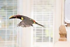Uccello f di Tucan Immagine Stock