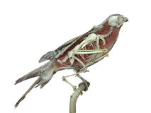 Uccello farcito del falco con l'interno dello scheletro isolato sopra bianco Fotografie Stock