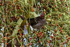 Uccello femminile del fico Immagine Stock