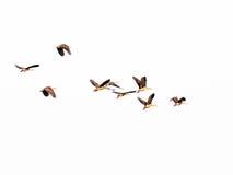 Uccello ferruginoso del moriglione Fotografie Stock