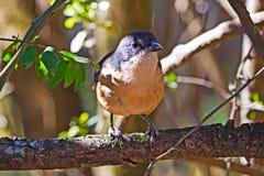 Uccello fiscale comune di laniere appollaiato sul ramo di albero fotografie stock libere da diritti