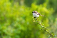 Uccello fiscale comune di laniere nel bianco marrone al cratere di Ngorongoro, Tanzania, Africa fotografia stock