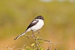 Uccello fiscale comune di laniere sull'albero della spina fotografia stock