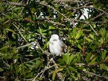 Uccello fiscale comune fotografia stock
