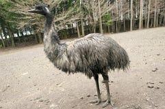 Uccello Flightless del emu Fotografia Stock Libera da Diritti