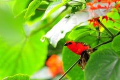 Uccello, fody rosso del Madagascar immagine stock libera da diritti