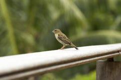 Uccello fody rosso femminile di Foudiamadagascariensis, delle Seychelles e del Madagascar Immagine Stock Libera da Diritti