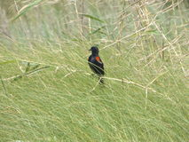 Uccello fra l'erba immagini stock libere da diritti