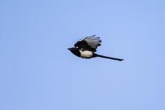 Uccello, gazza in volo Fotografia Stock