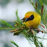 Uccello giallo Fotografie Stock Libere da Diritti
