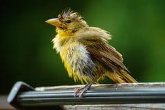 Uccello giallo bagnato Fotografia Stock