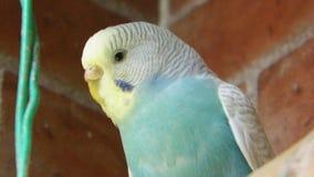 Uccello giallo/blu Fotografia Stock Libera da Diritti