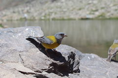 Uccello giallo circa da volare Fotografia Stock
