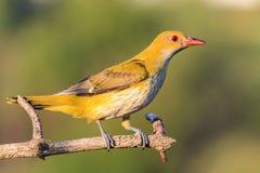 Uccello giallo con un becco rosso, oriolo fotografia stock