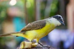 Uccello giallo curioso (grande Kiskedee) Fotografia Stock