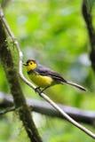 Uccello giallo del fringillide su un ramo di albero Fotografia Stock Libera da Diritti
