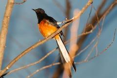 Uccello giallo del petto Fotografia Stock