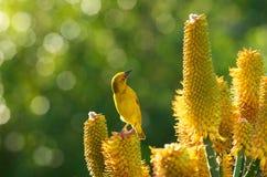 Uccello giallo del tessitore dell'aloe Fotografia Stock