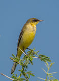 Uccello giallo del Wagtail Fotografie Stock Libere da Diritti