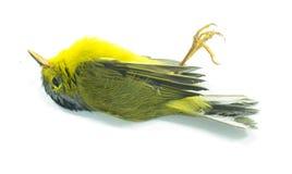 Uccello giallo morto Immagini Stock