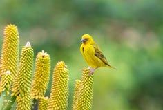 Uccello giallo sul fiore dell'aloe Immagine Stock