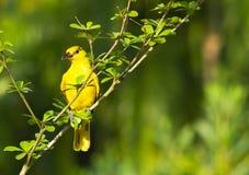 Uccello giallo sveglio Fotografia Stock