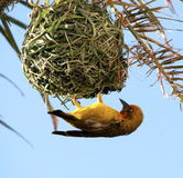Uccello giallo. Tessitore del capo. Immagine Stock