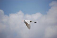 Uccello - grande volo del Egret fotografia stock