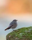 Uccello grazioso sulla natura Immagini Stock Libere da Diritti