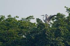 Uccello grigio dell'airone Fotografie Stock