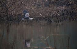 Uccello grigio dell'airone durante il volo Fotografia Stock