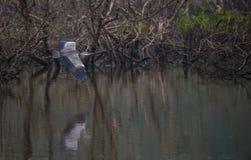 Uccello grigio dell'airone durante il volo Fotografia Stock Libera da Diritti