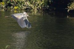 Uccello grigio dell'airone durante il volo Immagini Stock