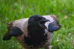Uccello grigio di tristis di corvo del corvo con il becco aperto immagini stock