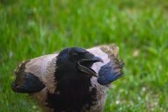 Uccello grigio di tristis di corvo del corvo con il becco aperto fotografia stock libera da diritti