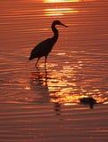 Uccello guadante al tramonto Fotografia Stock