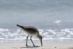 Uccello guadante, Florida Fotografia Stock