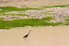 Uccello guadante sul fiume di colorado Fotografia Stock Libera da Diritti