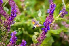 Uccello Hawk Moth di ronzio al fiore della lavanda Fotografia Stock Libera da Diritti
