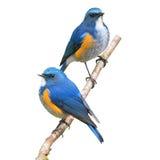 Uccello himalayano di Bluetail immagine stock