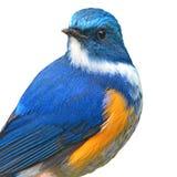 Uccello himalayano di Bluetail fotografie stock