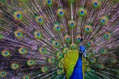 Uccello impressionante variopinto del fan di coda di diffusione del pavone Immagini Stock