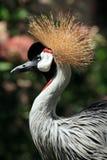 Uccello incoronato africano della gru Fotografie Stock Libere da Diritti