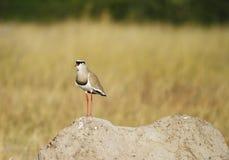 Uccello incoronato sul suo contenitore di sapone. Immagini Stock Libere da Diritti