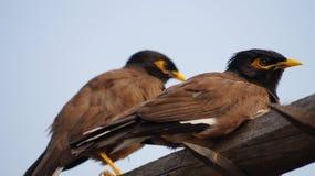 Uccello indiano Fotografia Stock Libera da Diritti