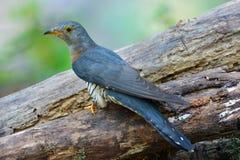 Uccello indiano del cuculo Immagine Stock Libera da Diritti