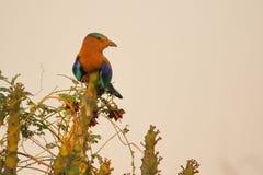 Uccello indiano del rullo immagini stock