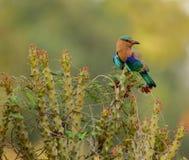 Uccello indiano del rullo immagini stock libere da diritti