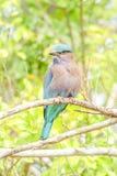 Uccello indiano del rullo su un ramo fotografie stock libere da diritti