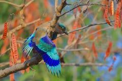 Uccello indiano del rullo fotografie stock libere da diritti